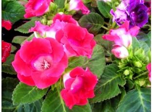 Modře kvetoucí rostliny
