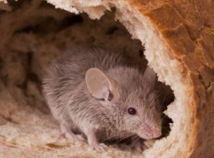 Jak se zbavit myší a potkanů v domě
