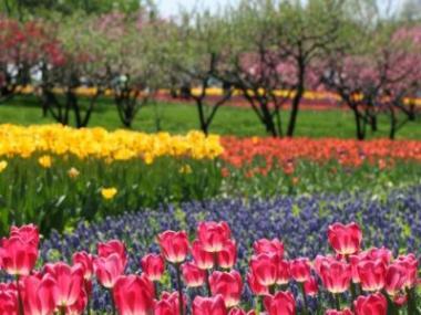 Logo Aby tulipány najaře krásně kvetly