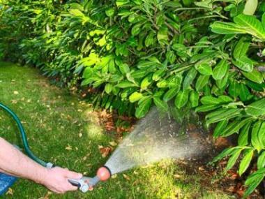 Jak hnojit živé ploty