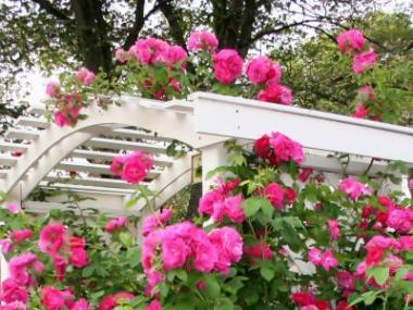 Jak stříhat popínavé růže