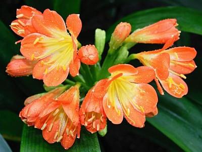 Jaké pokojové rostliny kvetou v zimě?