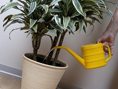 Jak pěstovat dracenu