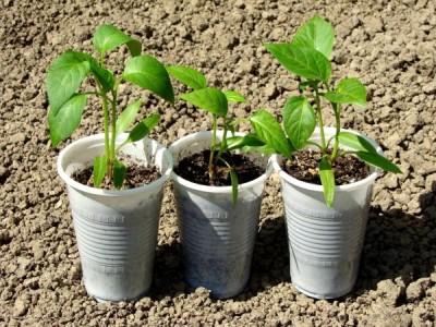 Logo Jak si předpěstovat sazenice zeleniny
