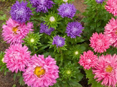 Jak pečovat o letničky, aby v zahradě zazářily?