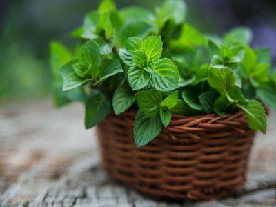 Jak pěstovat a využít mátu