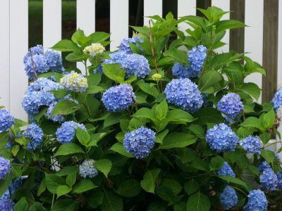Jak změnit barvy květů své hortenzie?