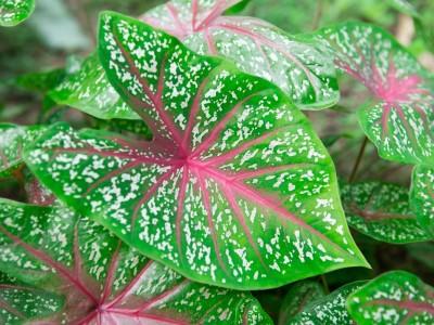 Logo Jaké pokojové rostliny zdobí byty svými pestrými listy?