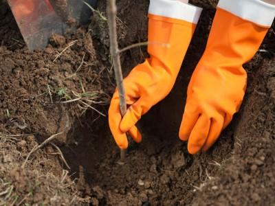 Stromky můžeme vysazovat od podzimu do jara, pokud nemrzne