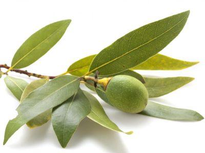Logo Jak pěstovat olivovník