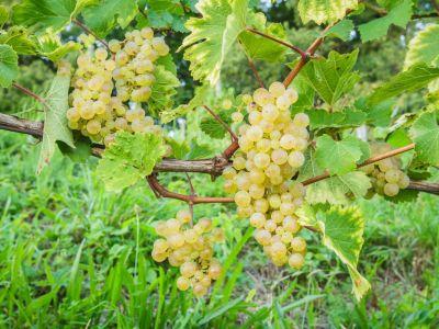 Logo Jak si vzahradě vypěstovat víno