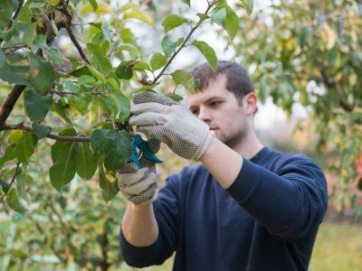 Jak si poradit s letním řezem ovocných stromů