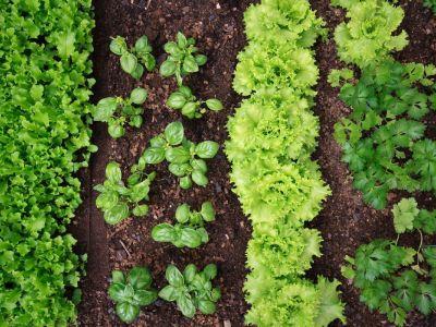 Které rostliny se mezi sebou nesnáší?