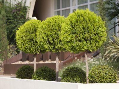 Jak se vysazují vzrostlé stromy