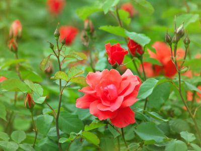 Jak si namnožit růže