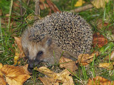 Jak si v zahradě udržet ježky