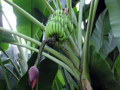 Jak si vypěstovat vlastní banány