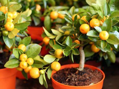 Jaké citrusy můžeme pěstovat v bytě?