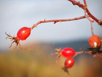 Jak a proč pěstovat šípky a jak je využít?