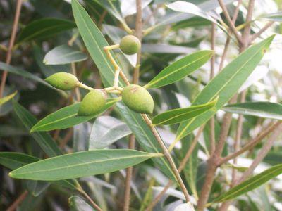 Jak si vypěstovat olivy