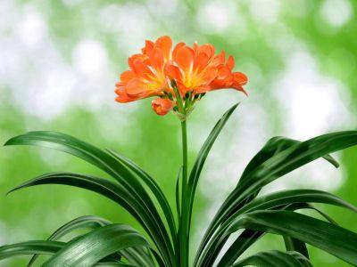 Jak pěstovat Klívie