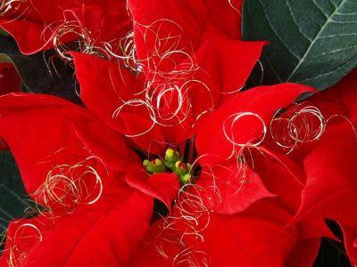 Proč vám neprospívá vánoční hvězda?