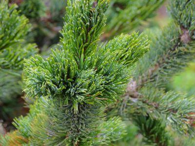 Jak si vybrat vánoční stromek v květináči