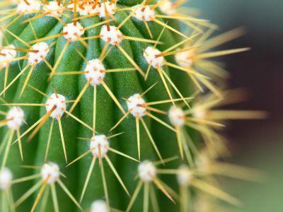 Jak přezimují kaktusy?