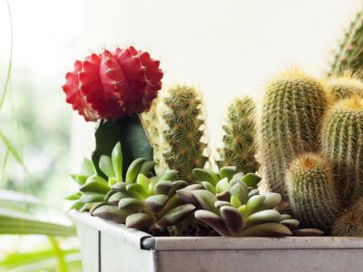 Jak pěstovat kaktusy