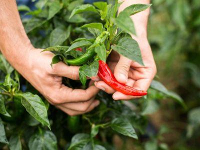 Kde a jak pěstovat chilli papričky?