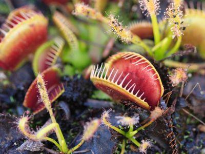 Jak pěstovat masožravky?