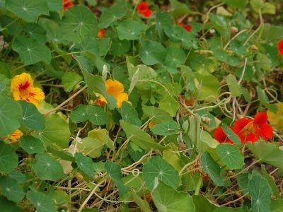 Vypěstujte si v zahradě přírodní antibiotika