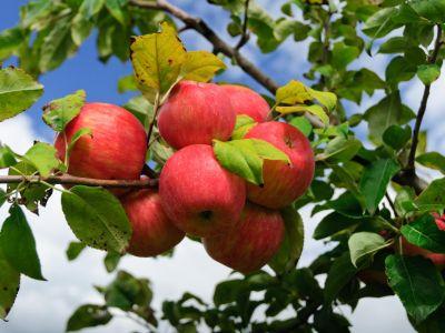 Logo Proč ajak najaře přihnojovat ovocné stromy?