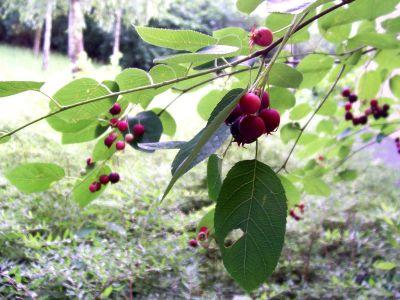 Vysaďte si v zahradě muchovník
