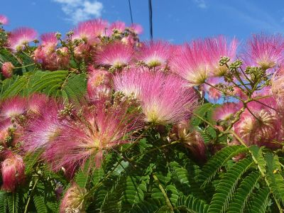 Albízie překvapí hedvábnými květy
