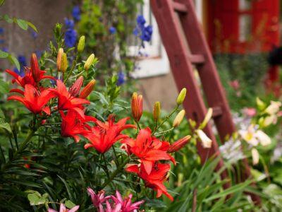 Jak pěstovat lilie v okrasných záhonech