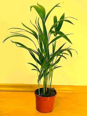 Pokojové palmy druhy