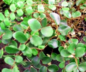 Pellaea rotundifolia, ZAHRADNICKÉ POTŘEBY R. Tůma