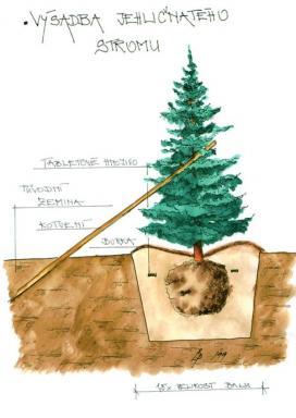 Výsadba jehličnatého stromu