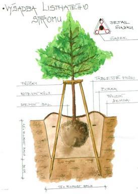 Výsadba listnatého stromu