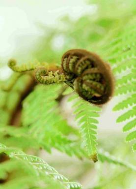 Stromové kapradí – (Dicksonia squarrosa)