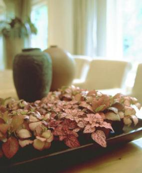 Foto Holandská květinářská kancelář - Fittonia