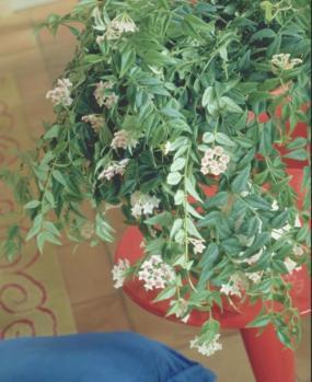 Holandská květinářská kancelář. Hoya.