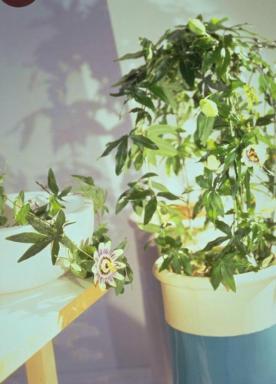 Holandská květinářská kancelář. Passiflora caerulea.