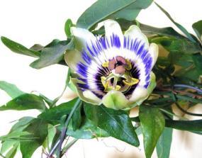 Passiflora.