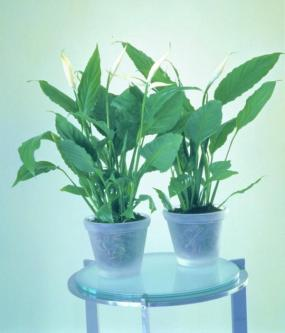 Spathiphyllum.