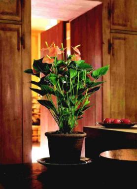 Anthurium. Foto Holandská květinářská kancelář.