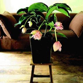 Medinilla. Foto Holandská květinářská kancelář.