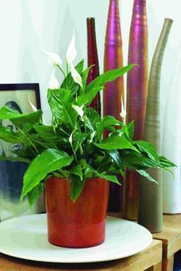 Foto Spathiphyllum. Holandská květinářská kancelář.