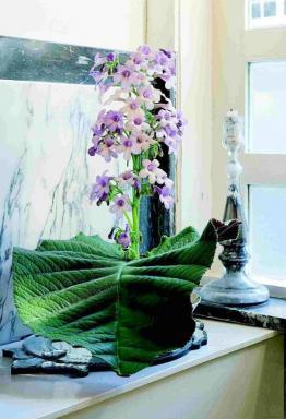 Foto Holandská květinářská kancelář. Streptocarpus.